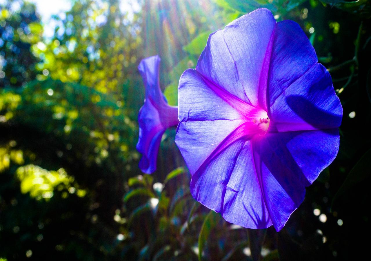 Blue Hibiscus Flowers